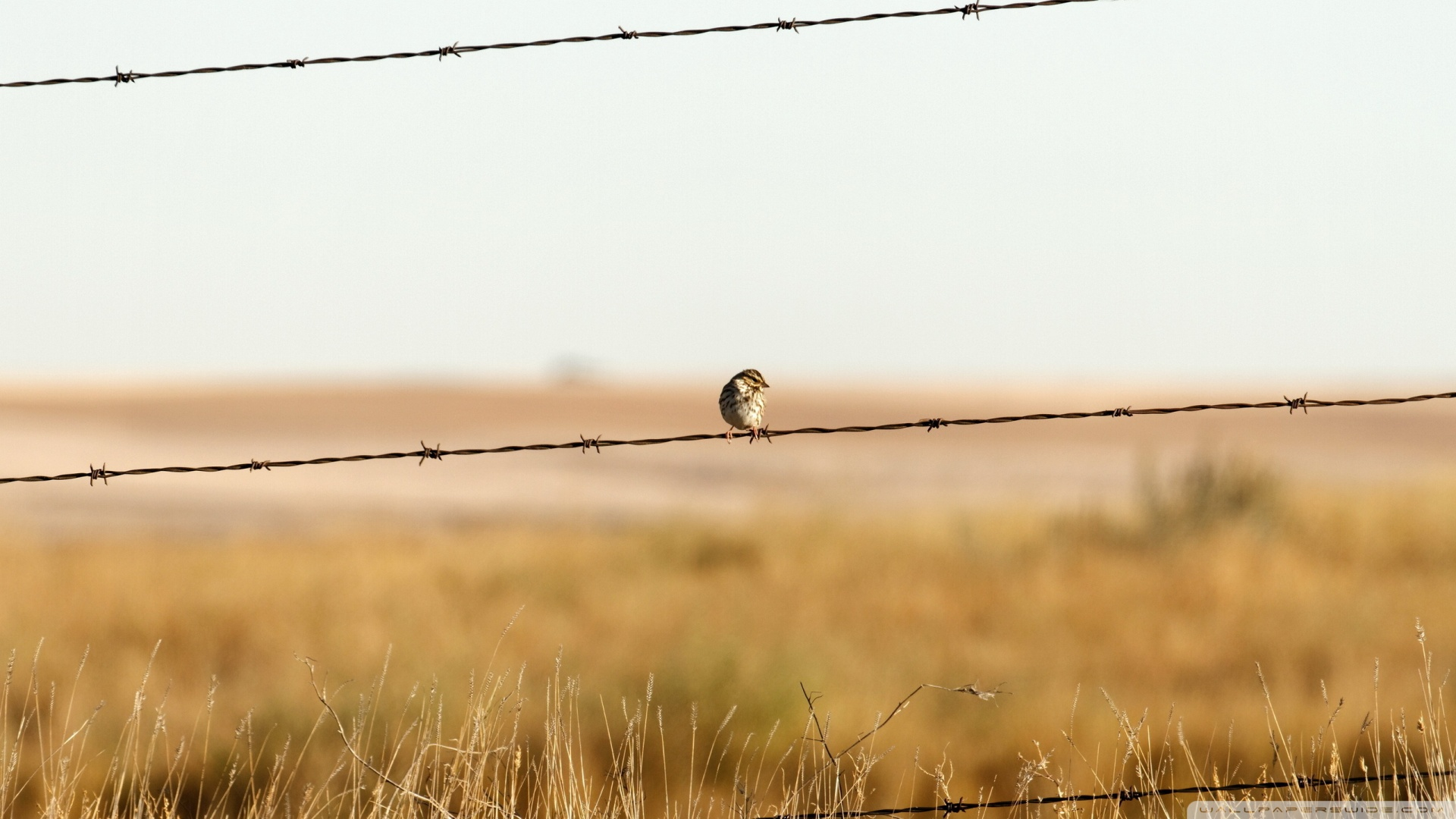 sparrow-on-barbed-wire-fence_00440660